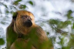 Fêmea do macaco de furo preto Foto de Stock Royalty Free