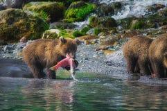 A fêmea do urso marrom de Kamchatka e os filhotes de urso travam peixes no lago Kuril Península de Kamchatka, Rússia foto de stock