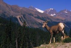Fêmea dos carneiros de Bighorn (ovelha) Imagens de Stock Royalty Free
