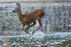 Fêmea dos cervos das ovas (capreolus do Capreolus) fotografia de stock