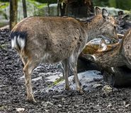 Fêmea dos cervos de Sika Fotos de Stock