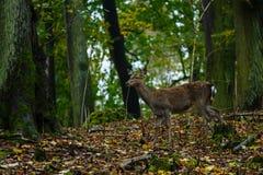 Fêmea dos cervos na madeira Foto de Stock Royalty Free