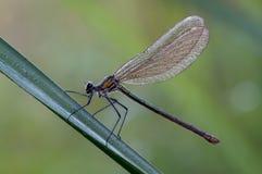 Fêmea dos splendens de Calopteryx foto de stock