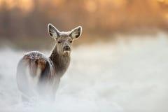 Fêmea dos veados vermelhos no inverno Imagem de Stock Royalty Free