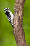 Fêmea Downy do Woodpecker Imagem de Stock Royalty Free