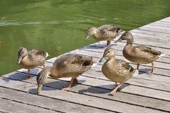 A fêmea ducks o passeio do pato selvagem Foto de Stock Royalty Free