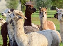 Fêmea Fawn Colored With Herd da alpaca Foto de Stock
