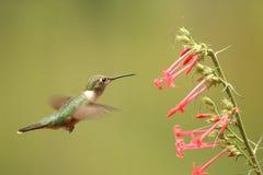 fêmea Largo-atada do colibri Imagem de Stock