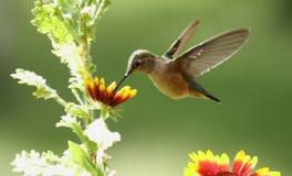 fêmea Largo-atada do colibri (platycercus de Selasphorus) Foto de Stock