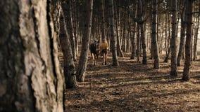 A fêmea loura está correndo em uma madeira com seu movimento lento do cavalo bonito marrom-n-branco filme