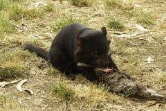 Fêmea nova um diabo tasmaniano posto em perigo alimenta em uma carcaça no amanhecer foto de stock royalty free