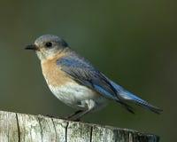 Fêmea oriental do Bluebird Foto de Stock Royalty Free