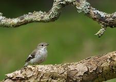 Fêmea Pied do papa-moscas Fotografia de Stock