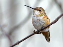 Fêmea Rufous do colibri Foto de Stock Royalty Free