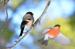 A fêmea senta-se no ramo e em um dom-fafe masculino em voo Fotos de Stock
