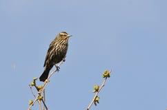 A fêmea Vermelho-voou o melro empoleirado em uma árvore Imagem de Stock