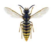 Fêmea vulgar do Vespula da vespa foto de stock royalty free