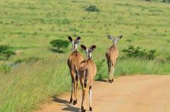 Fêmeas de Kudu que andam abaixo da estrada em África Fotografia de Stock