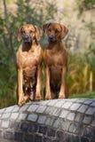 Fêmeas de Rhodesian Ridgeback Foto de Stock