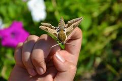 Fêtard de papillon en main Photo libre de droits