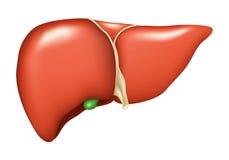 Fígado Fotos de Stock