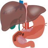 Fígado Fotografia de Stock
