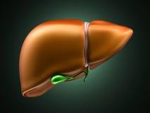 Fígado e vesícula biliar Foto de Stock