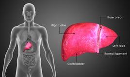 Fígado humano ilustração royalty free