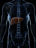 Fígado masculino Imagem de Stock Royalty Free