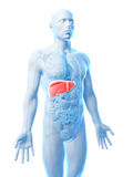 Fígado masculino Foto de Stock