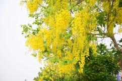 Fístula da cássia conhecida como a árvore de chuveiro dourado Foto de Stock
