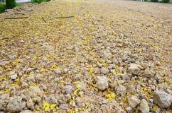 A fístula da cássia conhecida como a árvore de chuveiro dourado caída floresce na terra Imagem de Stock Royalty Free