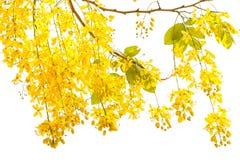 Fístula dourada da cássia do chuveiro, flor bonita nas horas de verão Fotografia de Stock