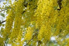 A fístula dourada de TreeCassia do chuveiro é flor amarela da beleza no verão fotos de stock