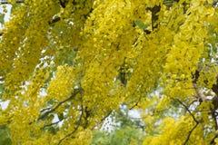 A fístula dourada de TreeCassia do chuveiro é flor amarela da beleza no verão imagens de stock