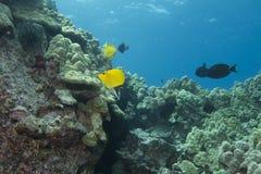 Fórceps Butterflyfish Fotos de Stock Royalty Free