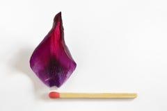 Fósforo ardente da folha da tulipa Imagem de Stock