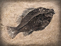 Fósil Imagen de archivo libre de regalías