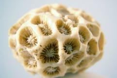 Fósil coralino Foto de archivo libre de regalías