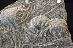 Fósil de Crinoid Imágenes de archivo libres de regalías