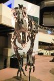 Fósil de dinosaurio Foto de archivo libre de regalías