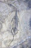 Fósil de dinosaurio imágenes de archivo libres de regalías
