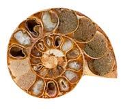 Fósil de la amonita Foto de archivo libre de regalías