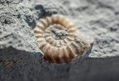 Fósil de la amonita Imágenes de archivo libres de regalías