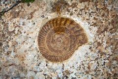 Fósil de la amonita imagen de archivo libre de regalías