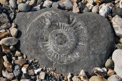 Fósil de la amonita en una roca Imágenes de archivo libres de regalías
