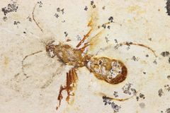 Fósil de la avispa Fotos de archivo libres de regalías