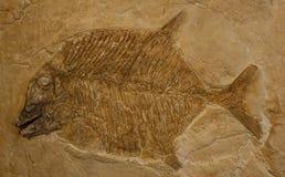 Fósil de los pescados Imágenes de archivo libres de regalías