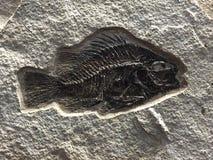 Fósil de pescados Fotos de archivo libres de regalías