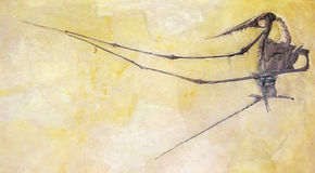 Fósil de un reptil prehistórico con alas Imágenes de archivo libres de regalías